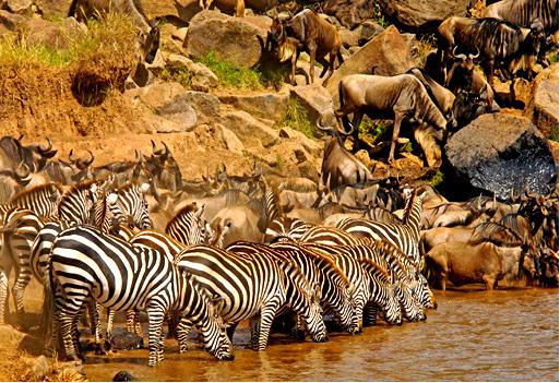 understand the great wildebeest migration