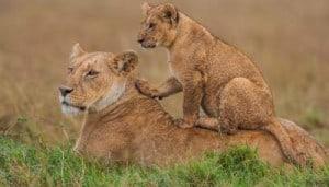 Kenyan safaris