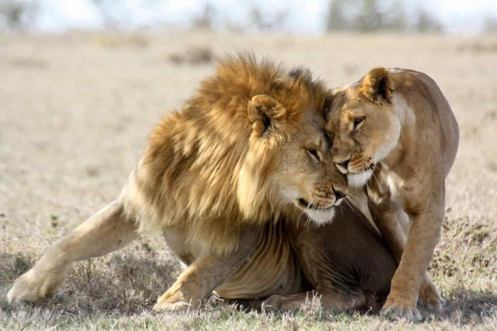 7 Key Things to Know for Your African Lion Safari