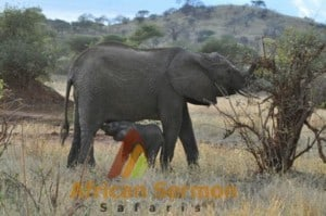 safari-holiday-in-kenya-baby-elephant-breast-feeding