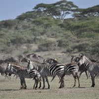 Maasai Mara Game Reserve: Wildebeest migration