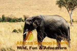 Kenyan safari tour in Maasai Mara with elephants game viewing safari