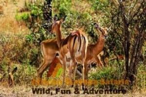 Maasai Mara and Lake Nakuru Kenya Safari 5 Days - Ken ya safari tour