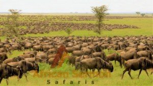 wildebeest migration at the Maasai Mara Game Reserve