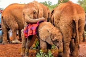 sheldrick-baby-elephant-orphanage